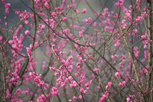 Spring Cherry blossoms closeup photo