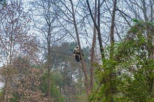 Giant panda climbing tree outdoors