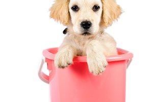 Golden retriever in bucket
