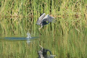 Heron flying up