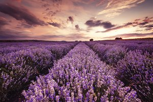 Landscape of lavender field