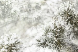 Pine-tree branch winter background
