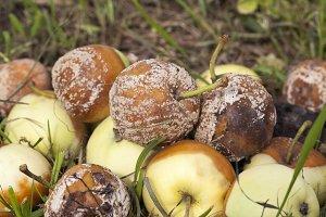 Spoiled crop of apples