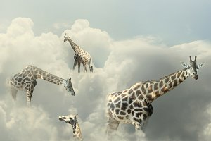 Giraffes in Heaven