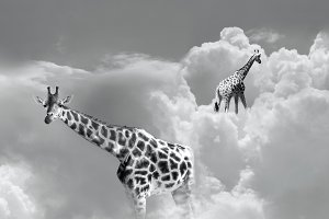 Giraffes in Heaven in B&W