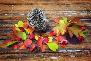 hedgehog on the old wooden background in grunge style with autumn leaves rural retro style