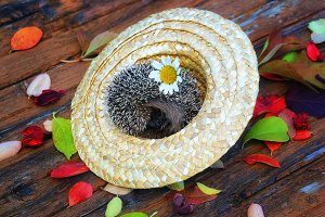 hedgehog in a straw hat on the old wooden background in grunge style with autumn leaves rural retro style