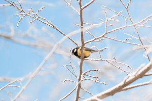 tit sitting on a snowy tree on a frosty morning