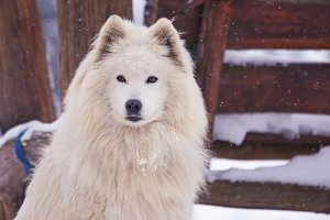 Siberian Samoyed look