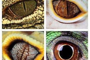 Reptiles eyes