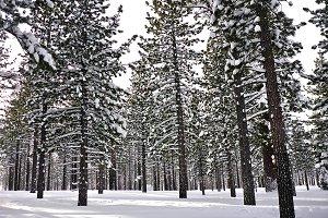 Snowy Grove of Jeffery Pine Trees