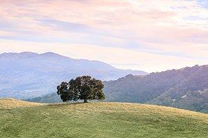 Lone Oak Tree in Bay Area Landscape.