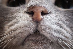Nose grey cat. Macro