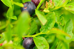 bilberry bush