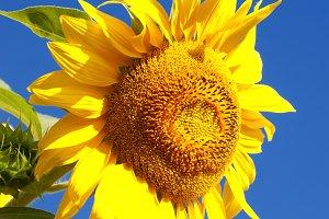 Sunflwer on sky