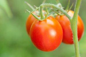 Tomatoes grow