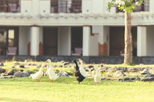 Geese on the grass in the park of Nusa Dua, Bali island, Indonesia.