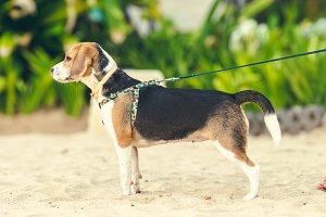 Cute female beagle dog on the beach of Bali island, Indonesia.