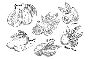 Sketch of guava and avocado, fig and mango, durian