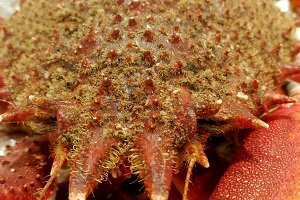 Crustacean seafood
