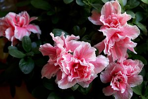 Pink rhododendron flower in pot