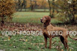 Beautiful dog Vizsla in autumn park