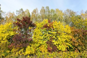 yellowed maple trees in the fall