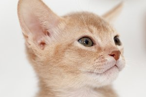 Abyssinian kitten . color fawn