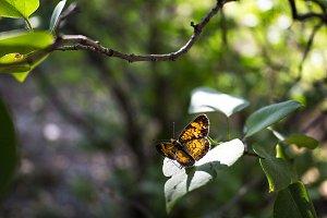 Bokeh Leaf Moth