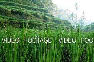 Rice Terrace field blowing in the wind. Ubud. Bali. Indonesia.