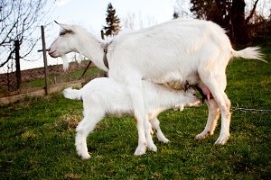 Goat and goatling