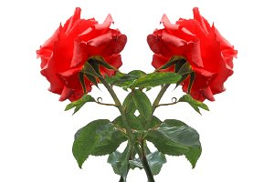 two red roses flower isolated over white