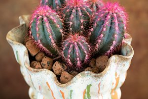 Pink cactus in a pot