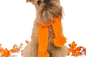Dog breed Brussels Griffon