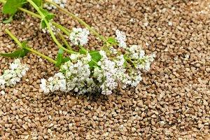 buckwheat and   flower
