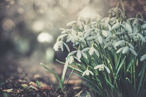 Lovely snowdrops flowers card