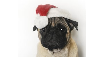 Pug in Christmas hat