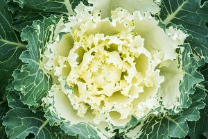Beautiful cabbage in the garden
