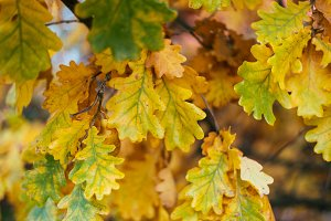Beautiful green leaves background autumn leaves with a tree. Autumn weather. Brown yellow leaves on a branch. Background nature in October.