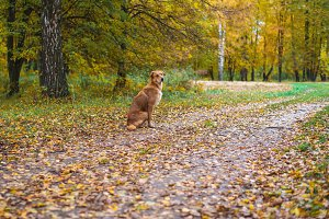 A dog sits in a park on the road. Autumn leaves of trees. Waiting for the owner, a devoted dog for a walk.