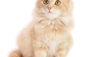 Cute little red kitten isolated on white background