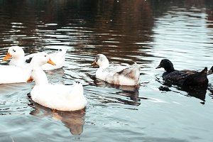 Ducks in the pond. In the autumn they swim in lake. A summer day in the park. White black wild geese.