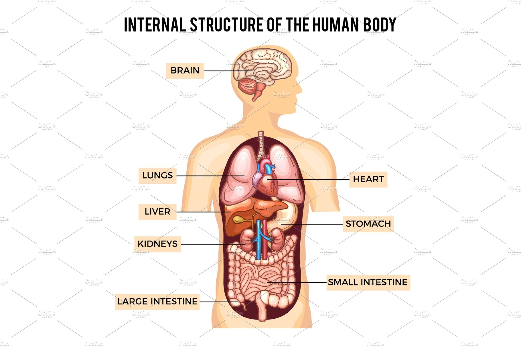 Human Body And Organs Systems Vector Infographic Graphics