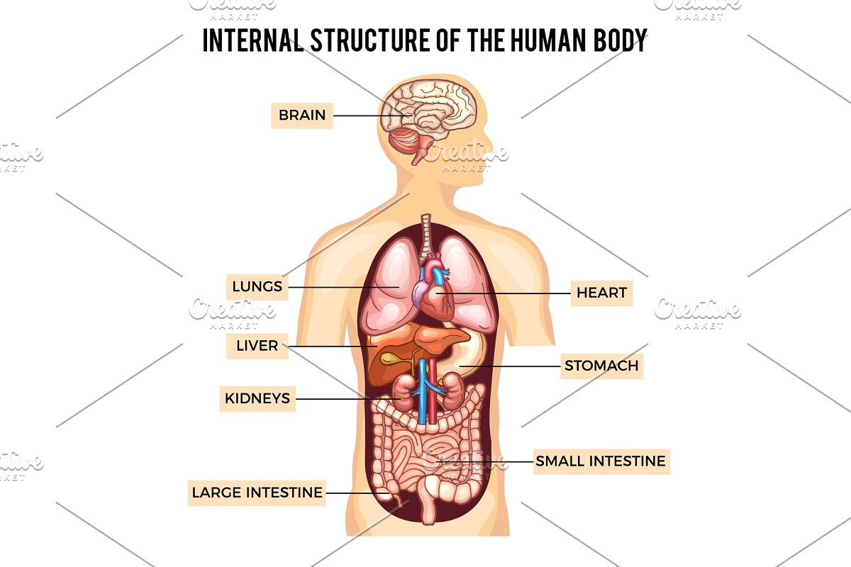 Human body and organs systems v