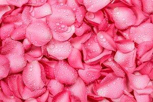 fresh pink rose petal