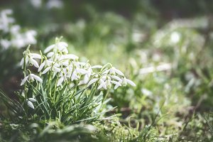 First sprig snowdrops flowers