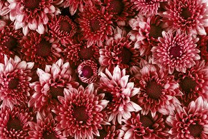 red pink Chrysanthemum flower