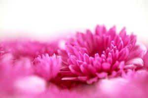 Soft sweet pink flower