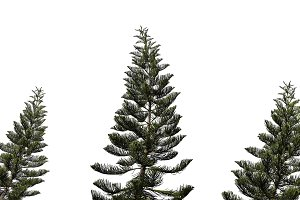 Set spruce tree