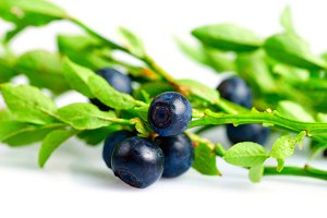 Twig of bilberry